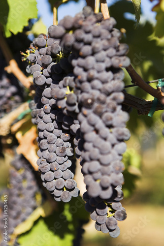 Bunch of Black Wine Grapes