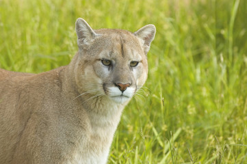 Cougar in the grass