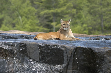 Cougar lying in river