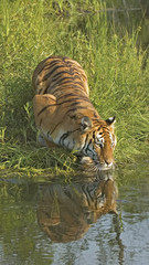 Tiger drinking at river