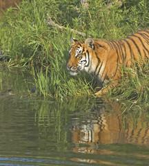 Tiger at water's edge