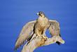Peregrine falcon, wing display