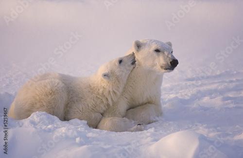 Fototapeten Eisbar Polar bear and cub