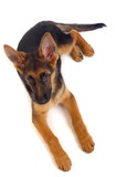 Young German Shepherd dog poster