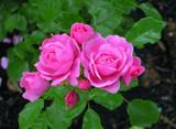 Fotoroleta roses