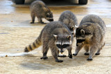 gang of coons