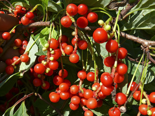 Berries of Primorye 12