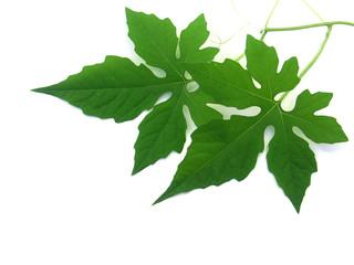 feuilles de margose