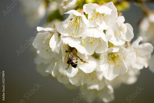 Leinwandbild Motiv Apfelbluete mit Biene