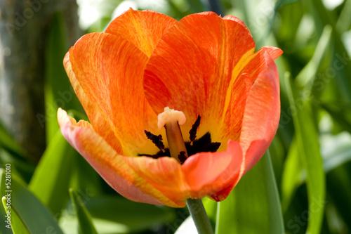 Leinwanddruck Bild Tuple im Frühling