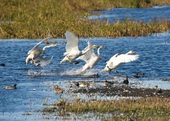 Hooper Swans Landing