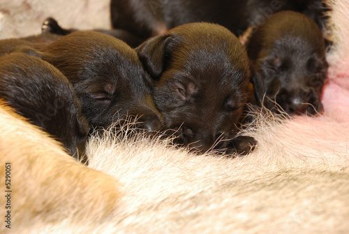 Black Puppies
