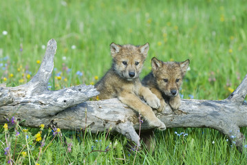 Gray wolf cubs palying on fallen log