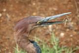 giant heron open beak poster