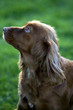 Side profile of a Sproinger Spaniel