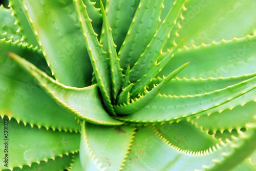 Foto op Canvas Cactus Aloe Succulent Plant closeup
