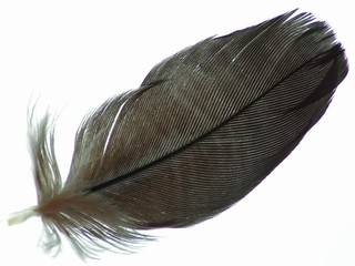 African Grey Feather