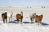 Horses in snowy pasture. poster