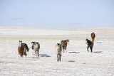 Horses in snow covered pasture. poster