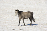 Horse in snow covered pasture. poster