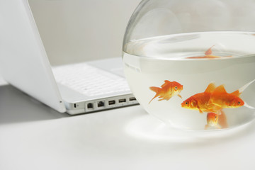 Close up of four goldfish in bowl with laptop behind