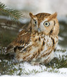 Screech owl(otus asio)