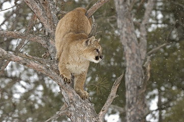 Cougar climbing in tree