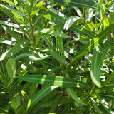 Close up of plant with slender green leaves. poster
