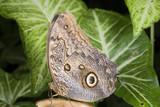 Speckled Wood Butterfly. poster