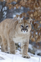 Telephoto shot of a cougar in a light snowfall.