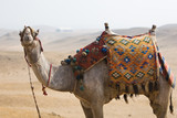 Camel with Saddle poster