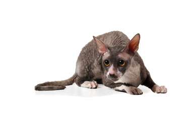 grey cornish rex cat on white background with shadow