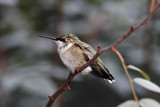 ruby throated hummingbird resting poster