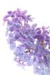 Quadro Common lilac flower detail (Syringa vulgaris)