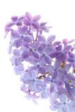 Common lilac flower detail (Syringa vulgaris) poster
