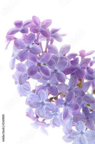 Common lilac flower detail (Syringa vulgaris)