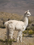 Alpacas pasture on the Andes grassland in Peru poster