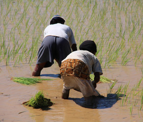 Women planting rice into the paddy fields of Madagascar