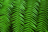Close-up photo of four green fern fronds symmetrically aligned. poster