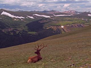 Resting Bull Elk (Wapiti)
