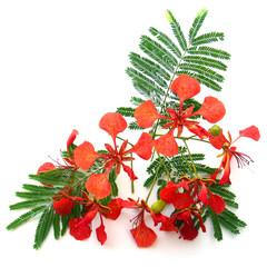 feuilles et fleurs du flamboyant