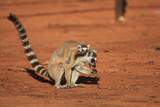 Ring Tailed Lemurs and their babies  poster