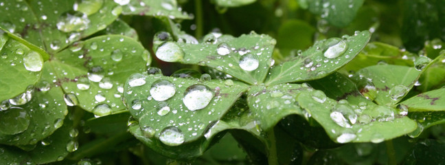 fresh and big water drops on the green leaves