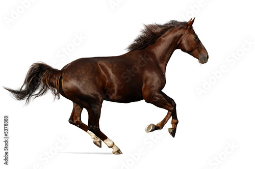 canvas print picture gallop horse