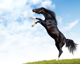 arabian black horse rears poster