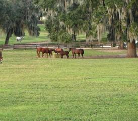 Herd eating hay