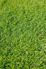 Fresh cut green grass background