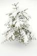 small spruce tree under snow