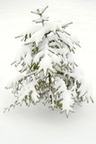 small spruce tree under snow poster