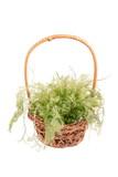 green algae in wicker basket isolated poster